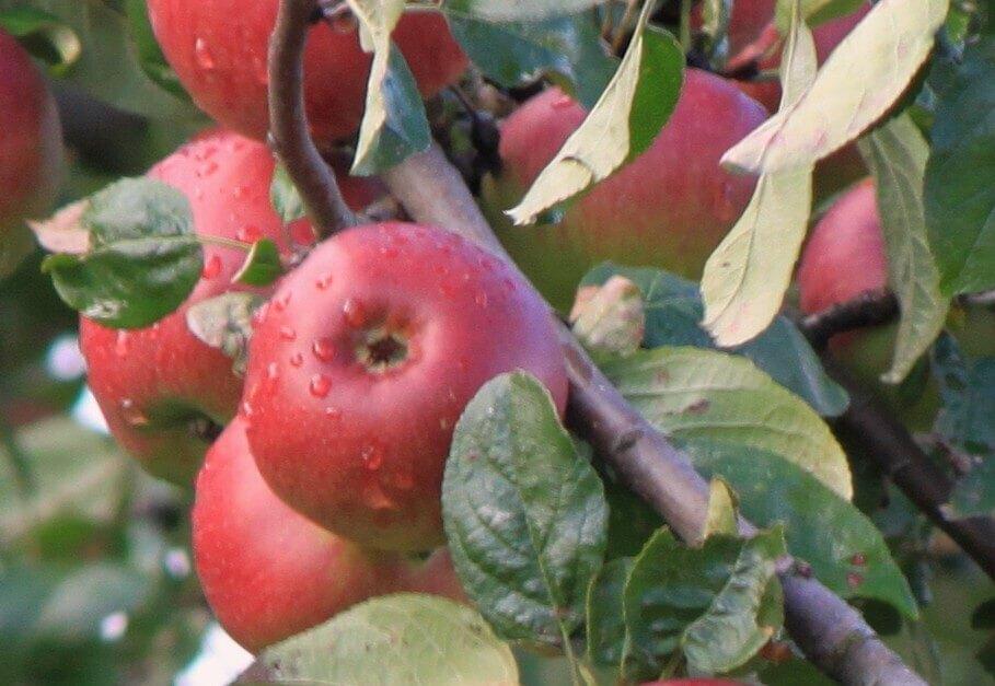 Ast mit roten Äpfeln