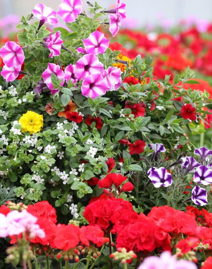 Beet & Balkon Sommerblumen bunt