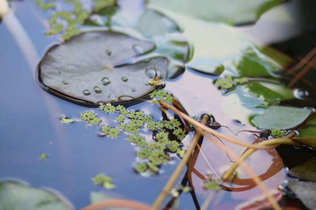 Wasserpflanzen Seerosenblatt