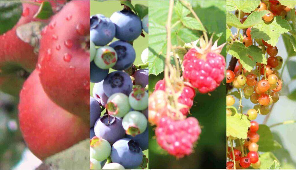 Verschiedene Obstgehölze und Beerensträucher